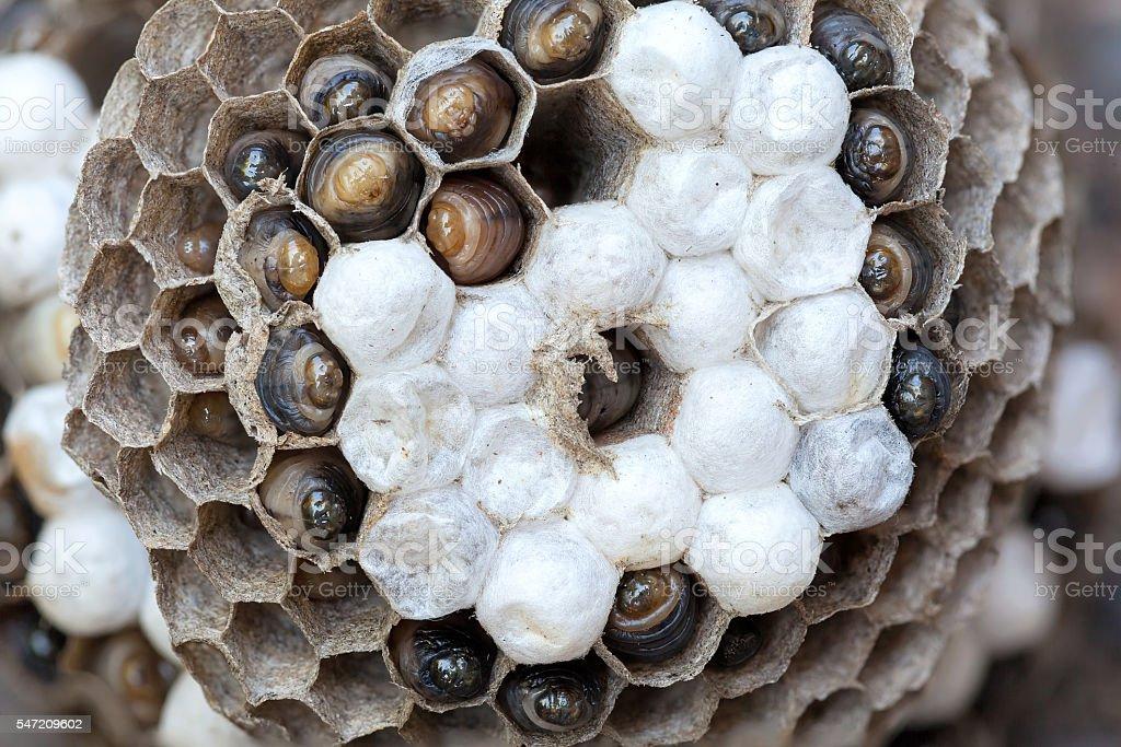 Wasp Nest with Larvae Macro stock photo