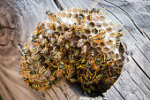 Wasp nest with wasps