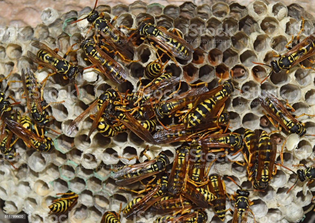 Wasp nest with wasps sitting on it. stock photo