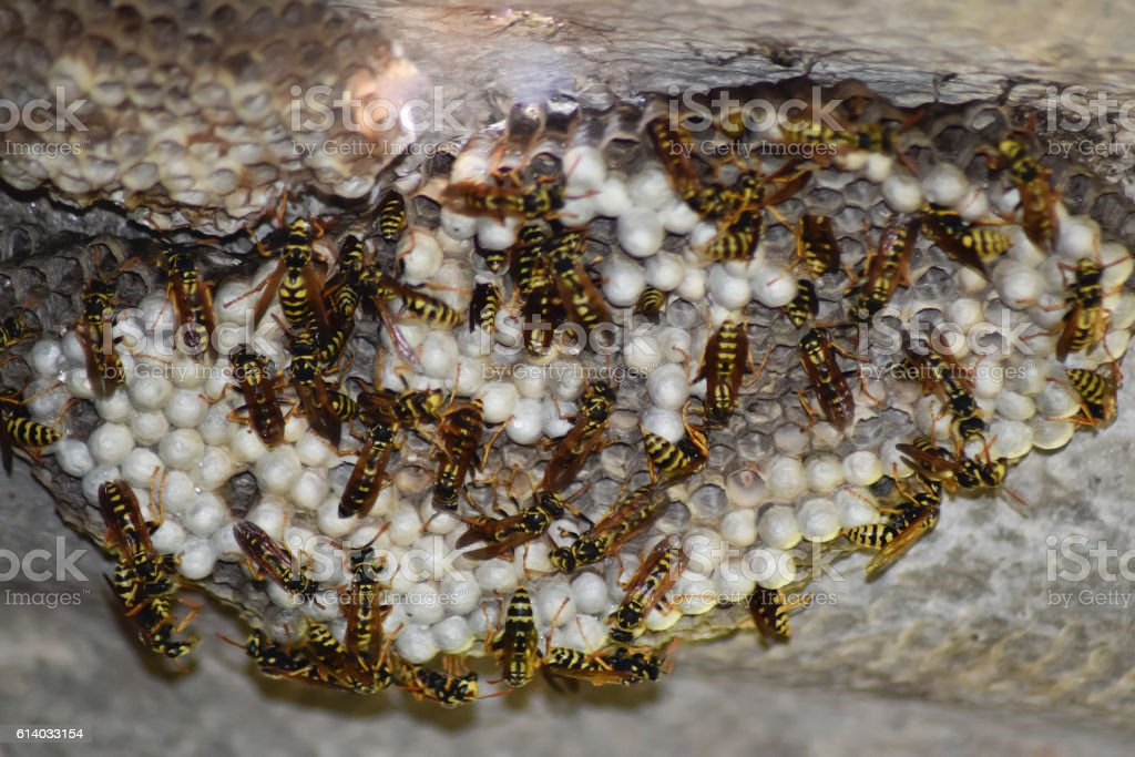 Wasp nest with wasps sitting on it. Wasps polist stock photo