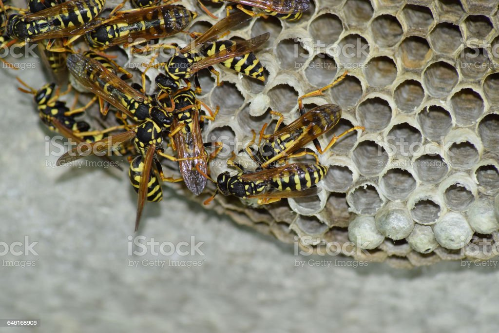 Wasp nest with wasps sitting on it. Wasps polist. The nest of a family of wasps which is taken a close-up stock photo