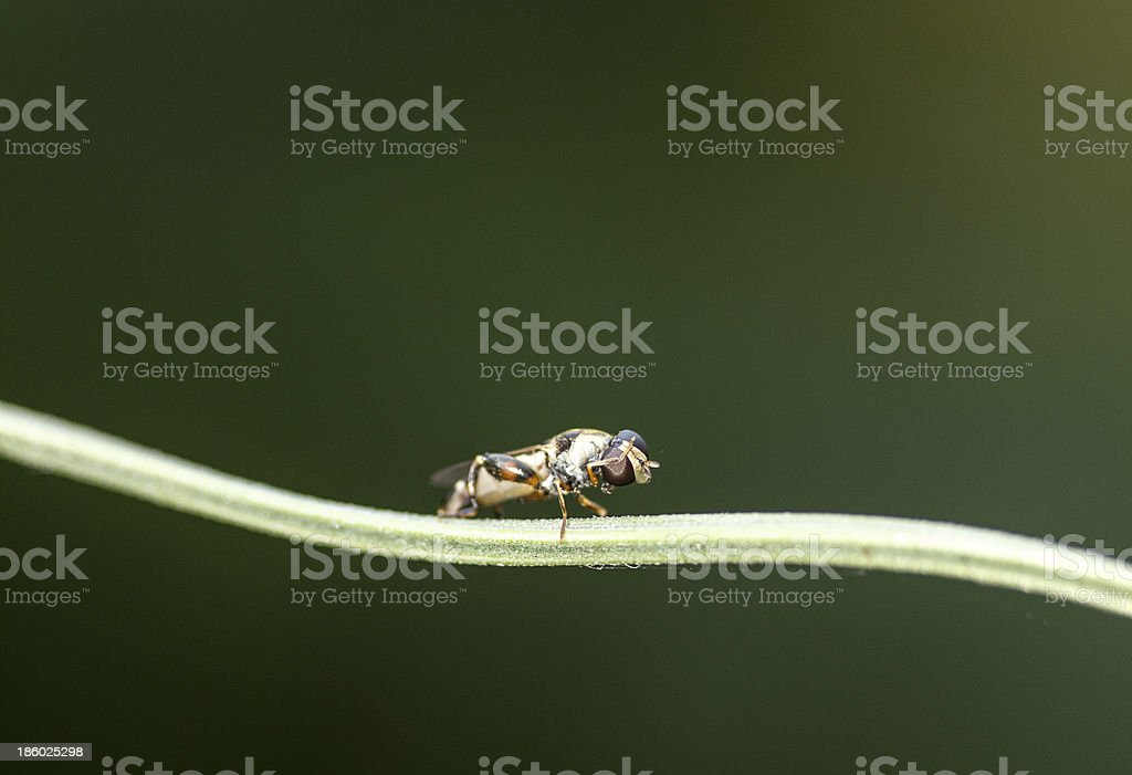 Wasp on a blade of grass royalty-free stock photo