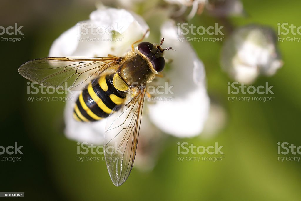 Wasp on a Flower royalty-free stock photo