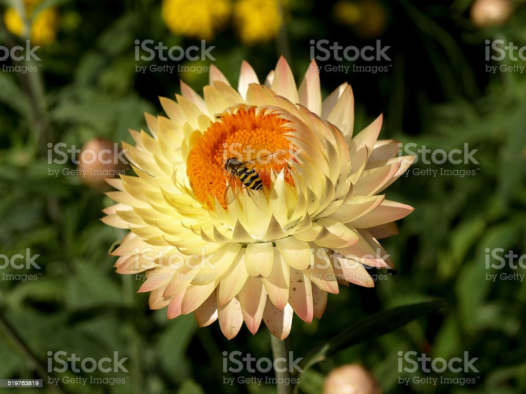 Wasp on a Straw flower stock photo