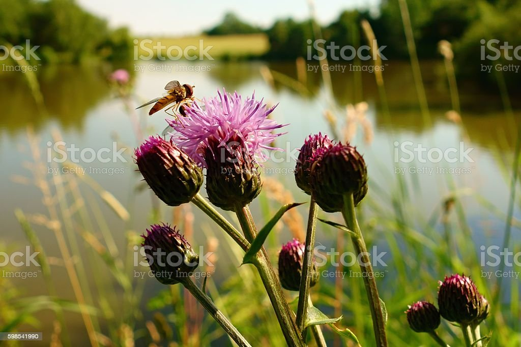 Wasp on a thistle stock photo