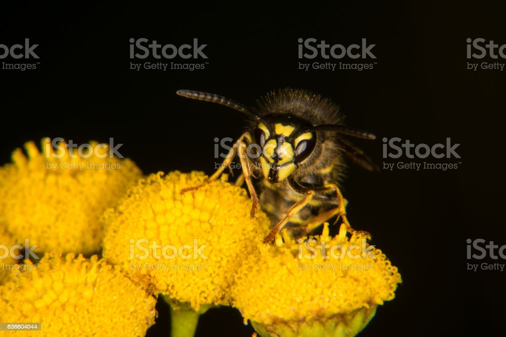 Wasp on a yellow flower stock photo