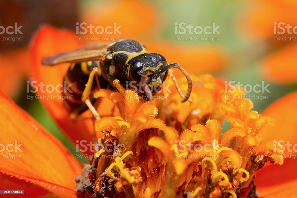 Wasp on an orange flower stock photo