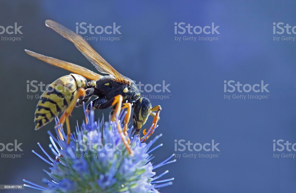 Wasp on banater thistle stock photo