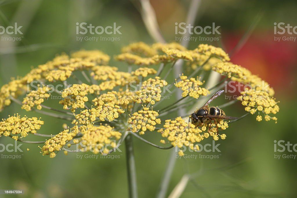 Wasp on fennel stock photo
