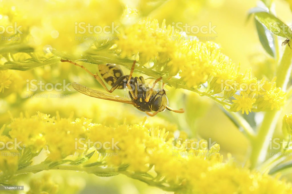 Wasp on golden rod flower royalty-free stock photo
