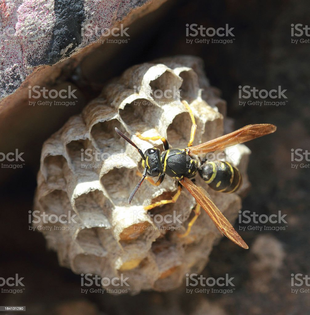 Wasp on his nest stock photo
