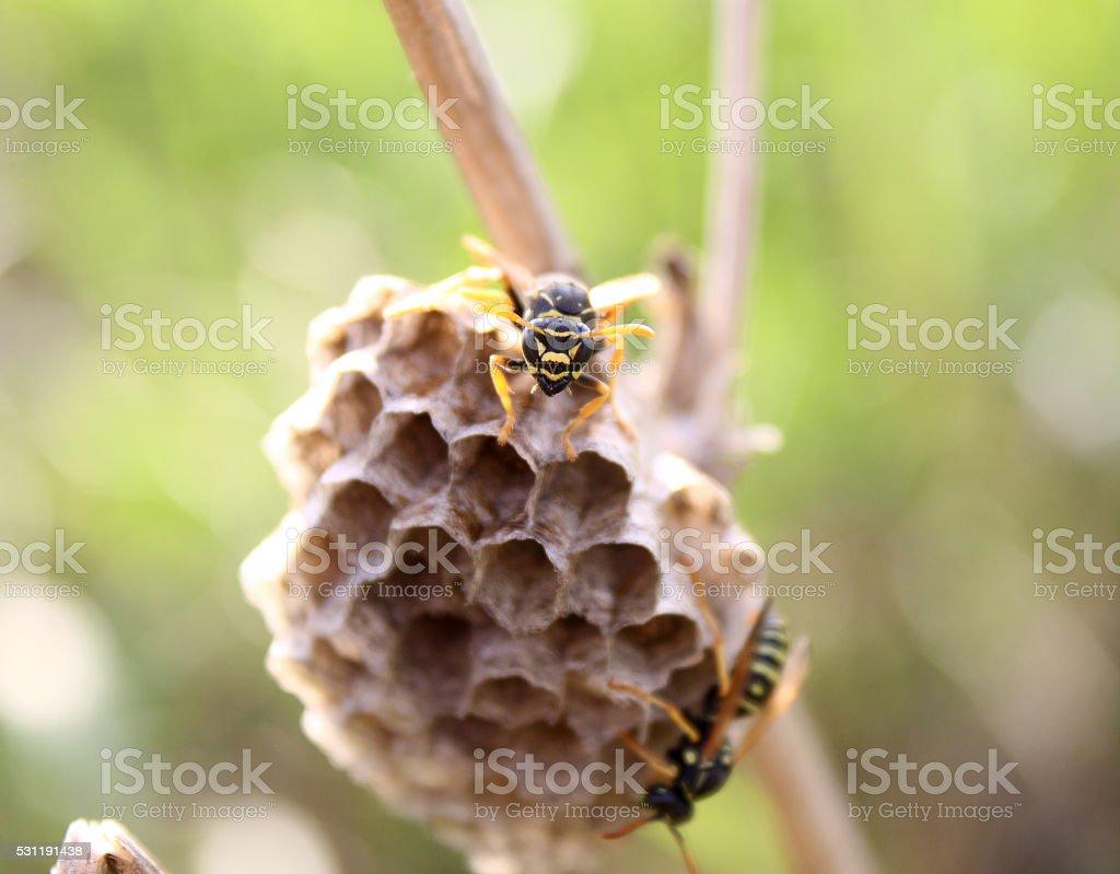 Wasp on Nest stock photo