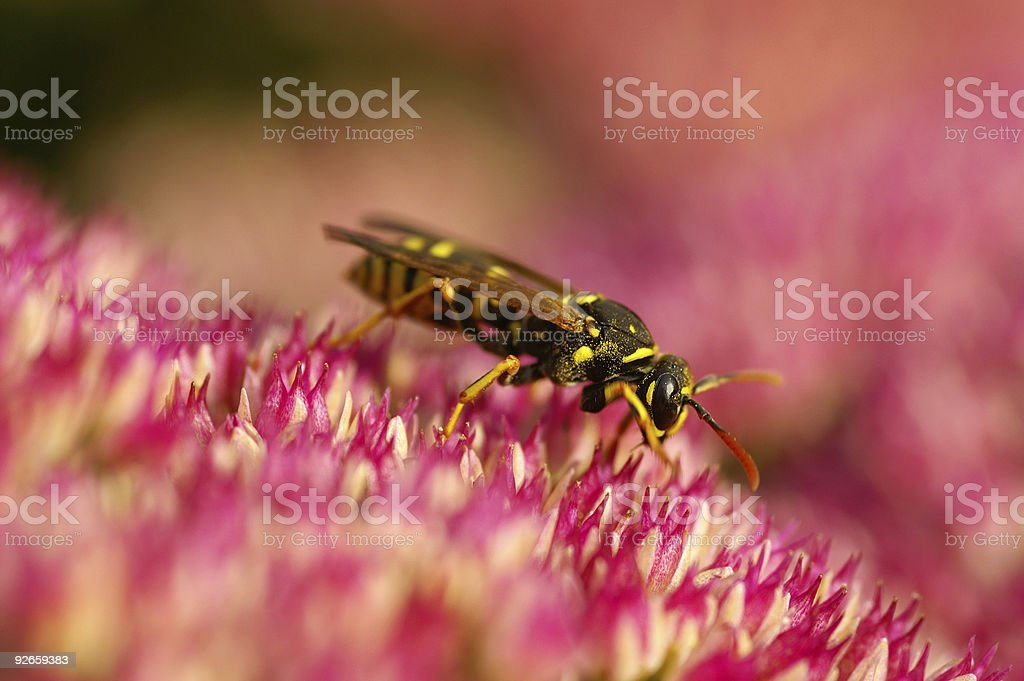 Wasp on stonecrop stock photo