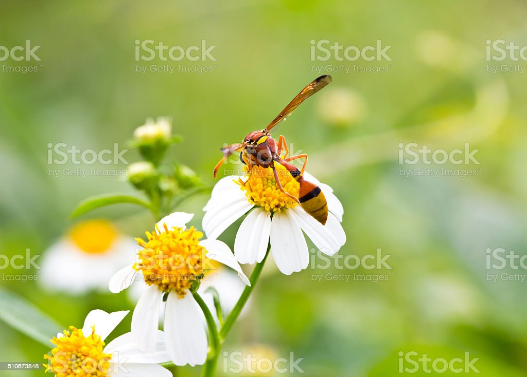 Wasp on the chamomile flower nectar. stock photo