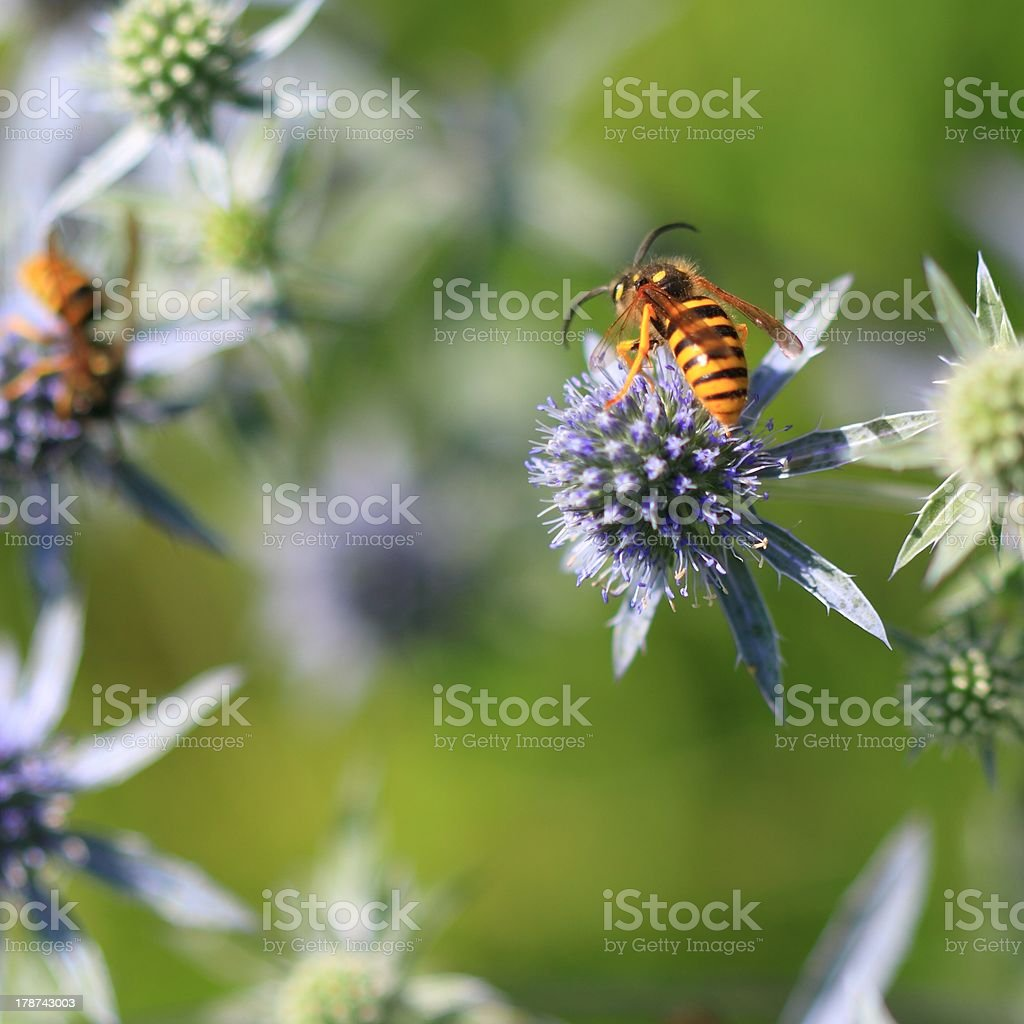 Wasp on the flowers royalty-free stock photo