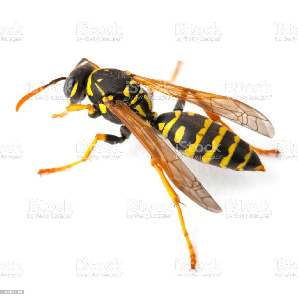 Wasp on White stock photo