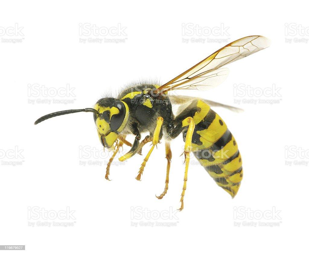 wasp stock photo