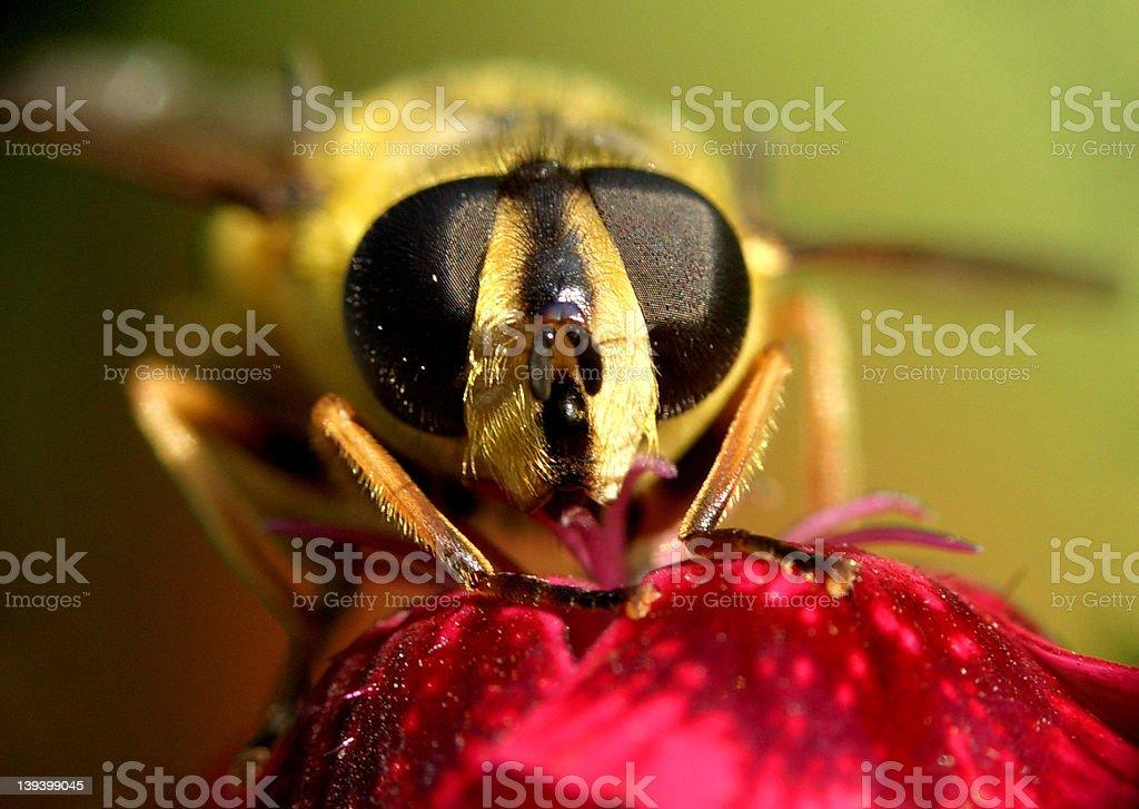 wasp...(12) royalty-free stock photo