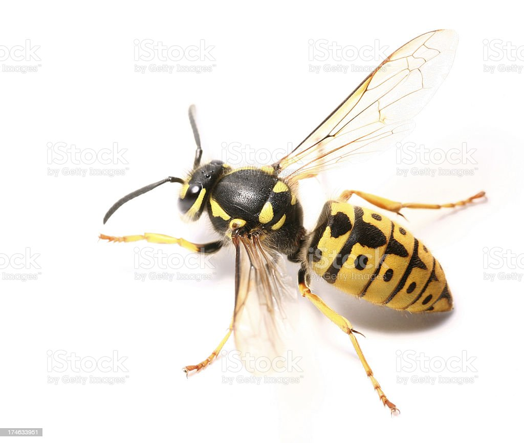 wasp royalty-free stock photo