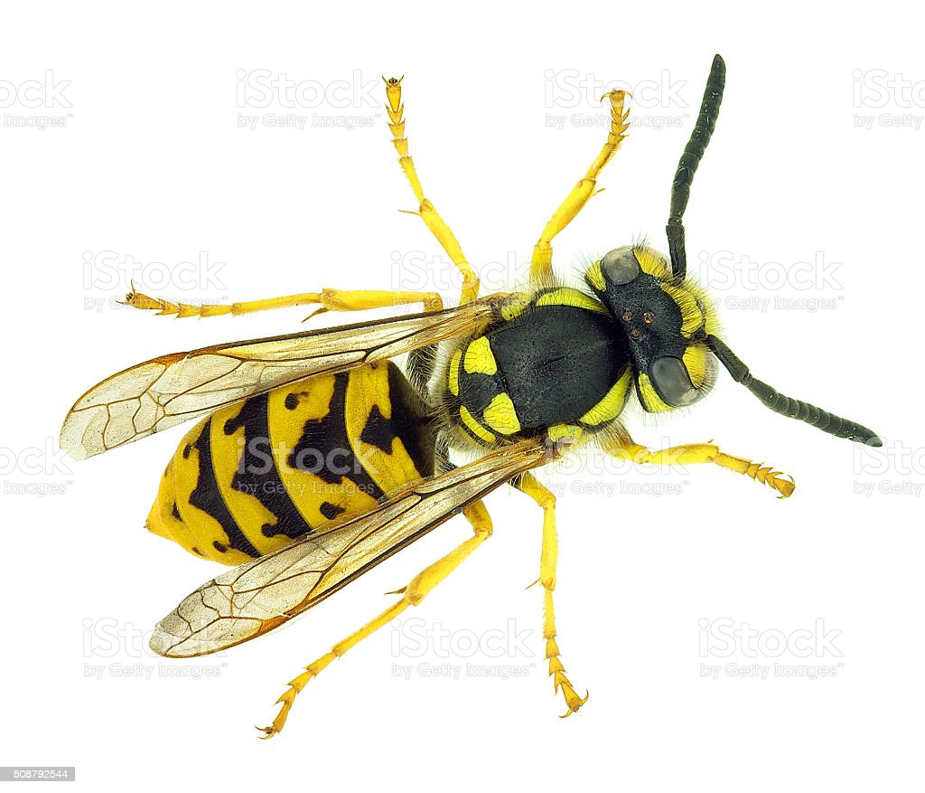 wasp (2) stock photo
