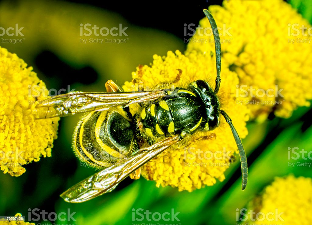 Wasp playing Bee stock photo