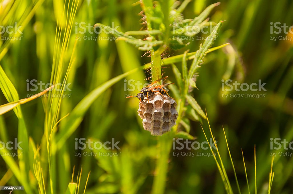 Wasp - Polistes dominula stock photo
