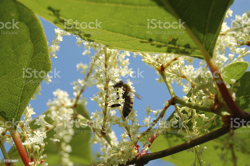 Wasp pollinating Japanese knotweed stock photo