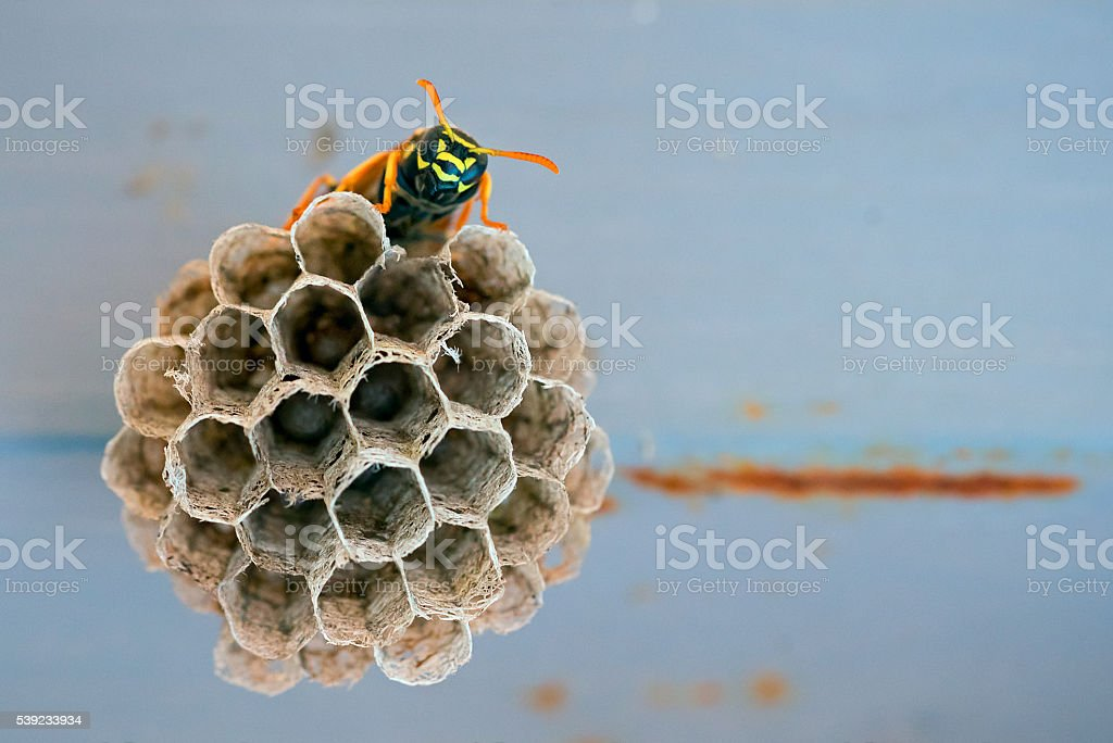 Wasp sitting on the cells stock photo