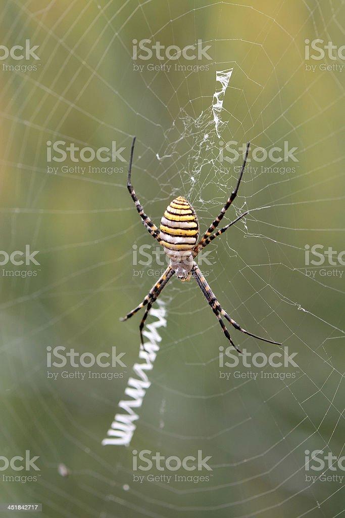 wasp spider, Argiope trifasciata stock photo