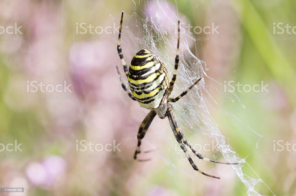 Wasp spider in Web (Argiope bruenichi) stock photo