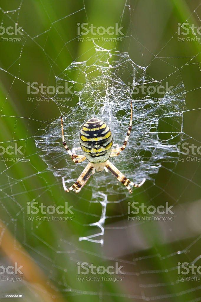 Wasp spider in Web (Argiope bruenichii) stock photo