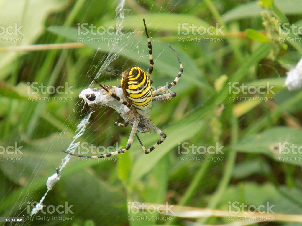 Wasp spider on web stock photo