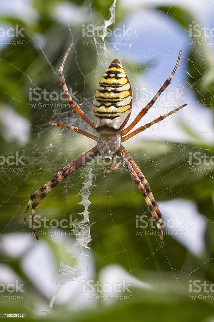 Wasp Spider stock photo