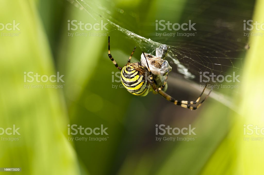 Wasp spider royalty-free stock photo