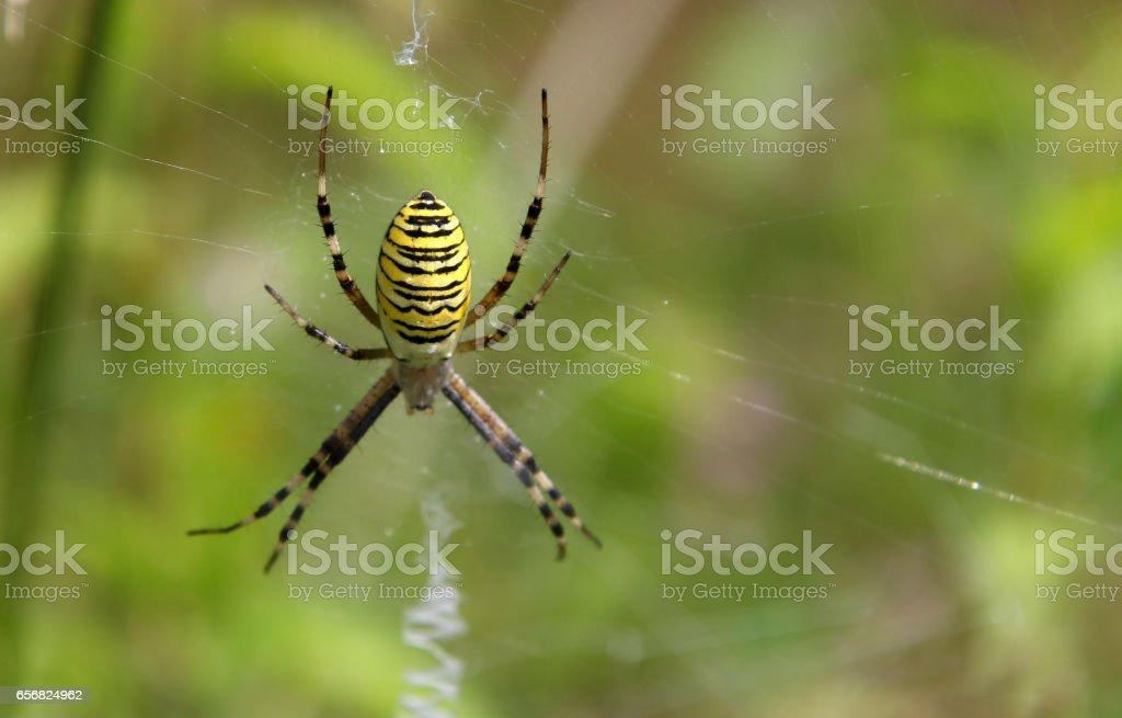 Wasp spider (Argiope bruennichi) stock photo