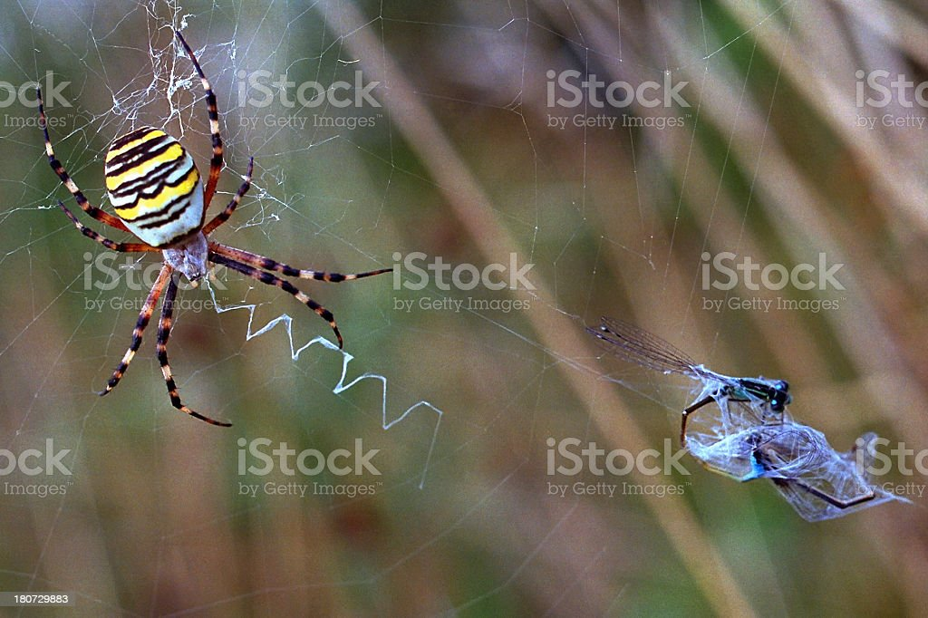 Wasp spider with prey royalty-free stock photo