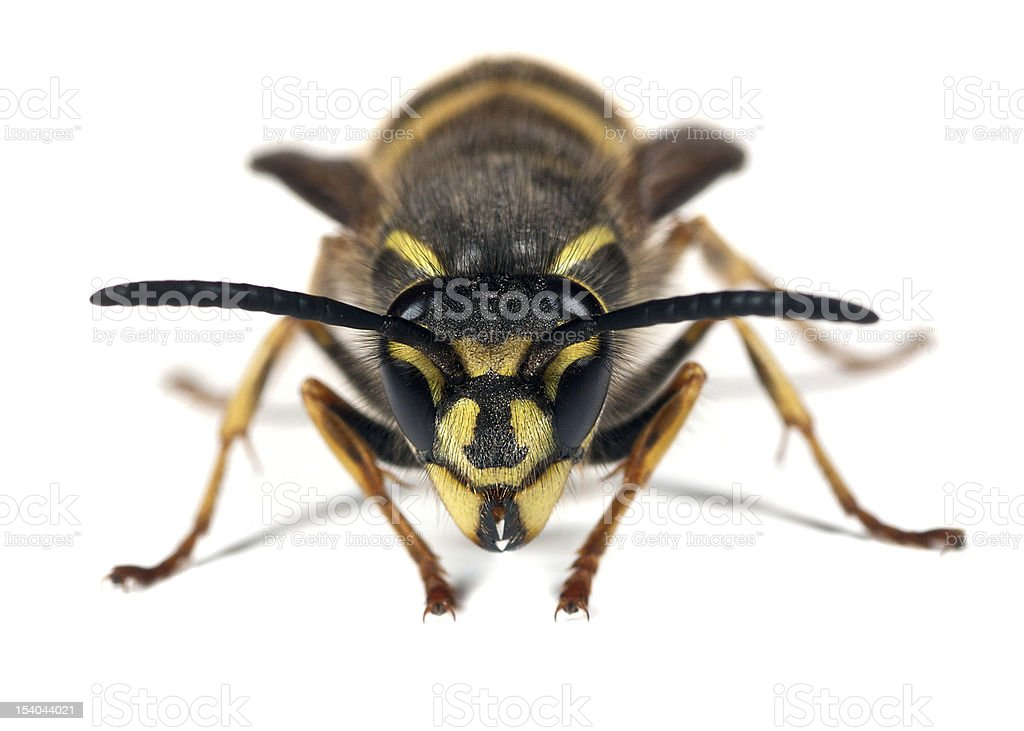 Wasp - Vespula vulgaris royalty-free stock photo