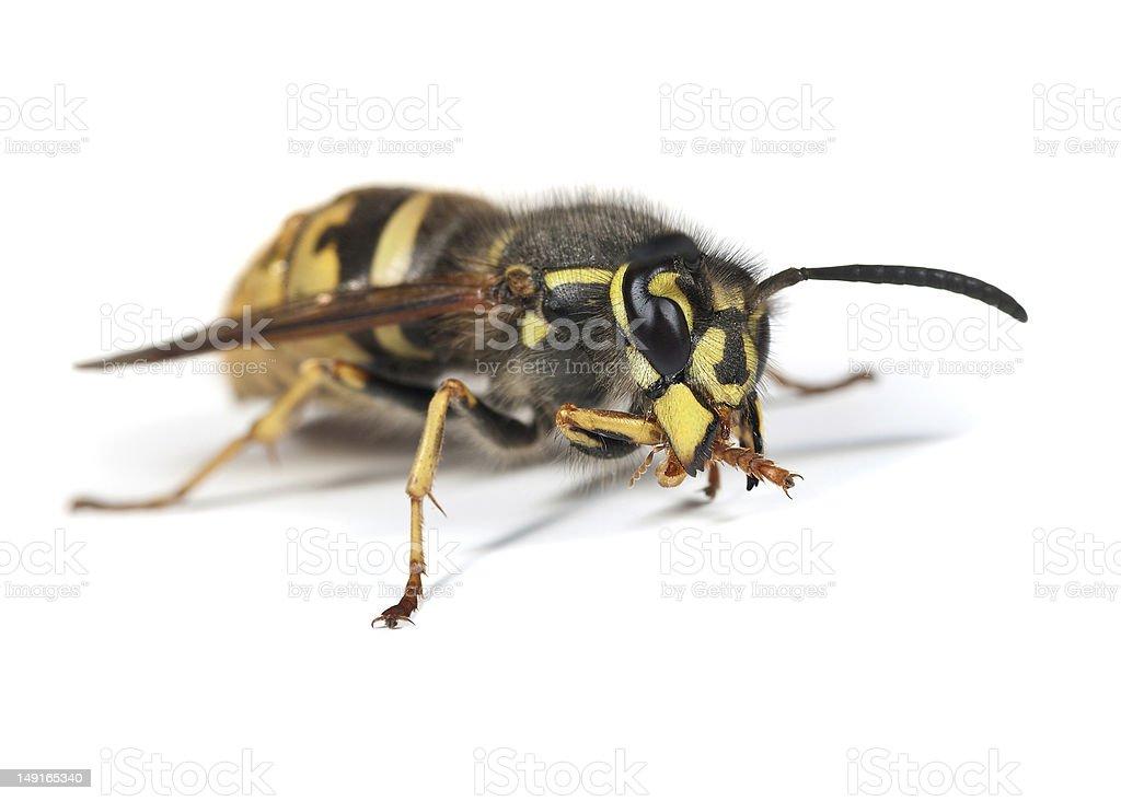 Wasp - Vespula vulgaris Queen royalty-free stock photo