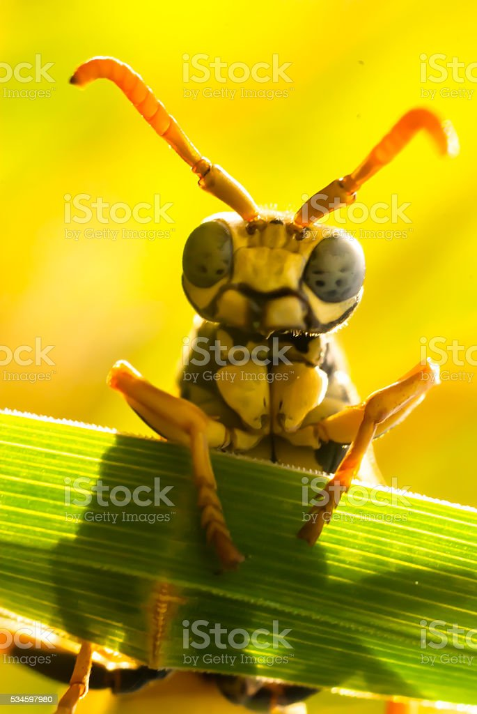 wasp with blue eyes stock photo