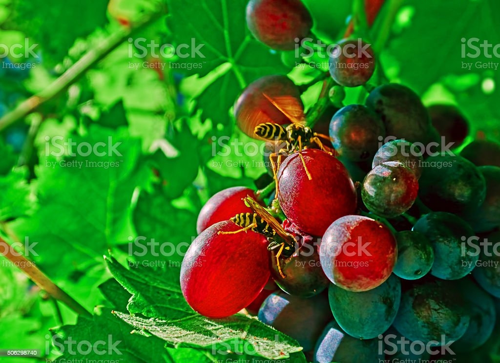 Wasps and grapes royalty-free stock photo
