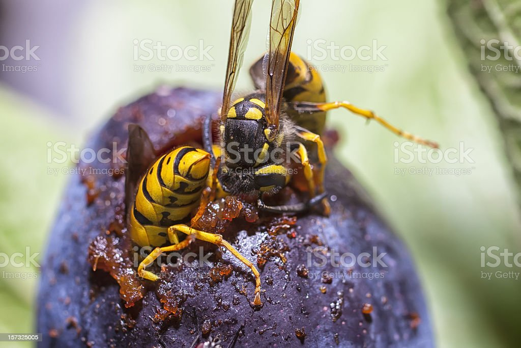 Wasps eating a plum stock photo