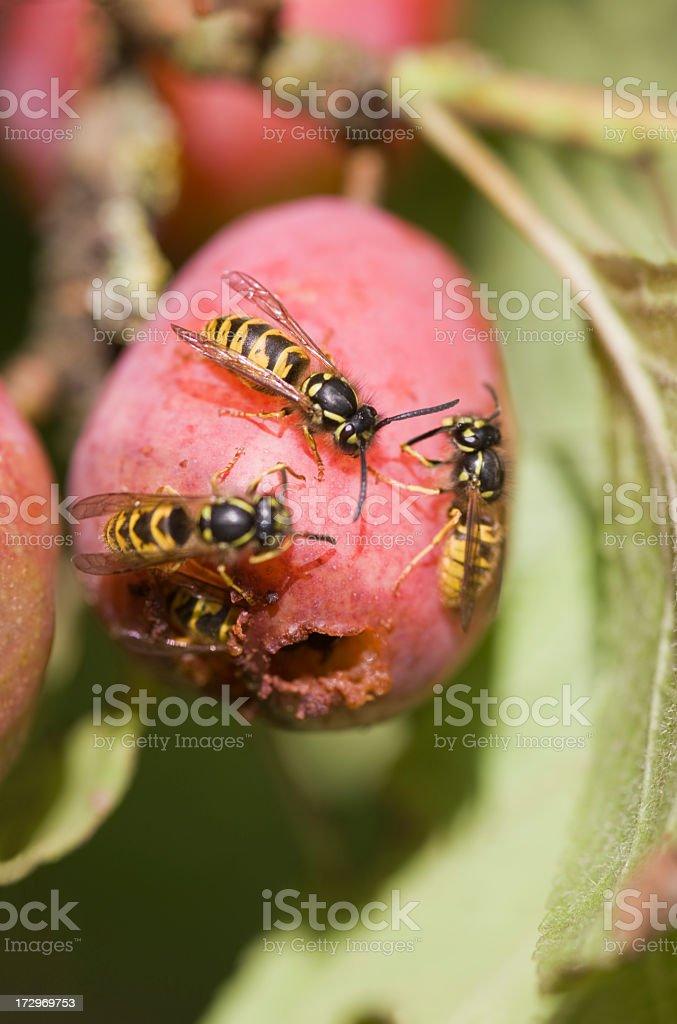 Wasps eating plum stock photo