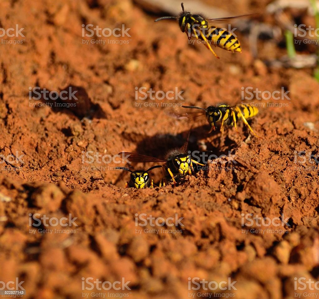 Wasps in the entrance of its underground nest stock photo