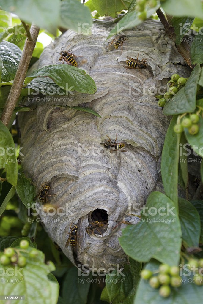 Wasp's nest amongst garden leaves royalty-free stock photo
