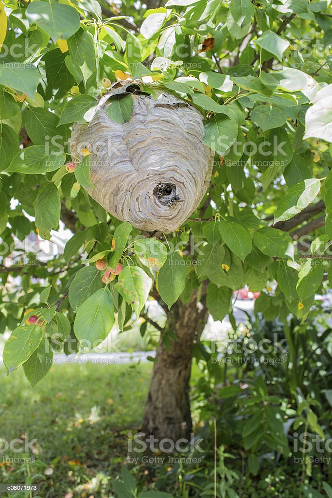 Wasp's Nest hanging from a tree royalty-free stock photo