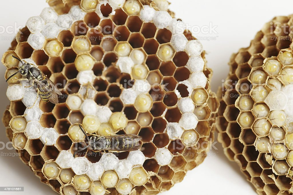 Wasp's Nest royalty-free stock photo