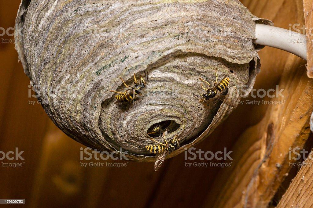 Wasps' nest stock photo