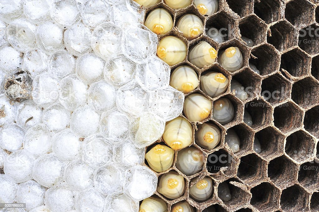 Wasps nest royalty-free stock photo