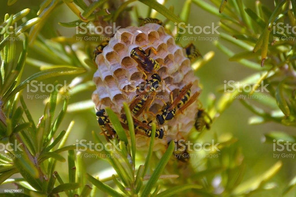 Wasps Nest stock photo