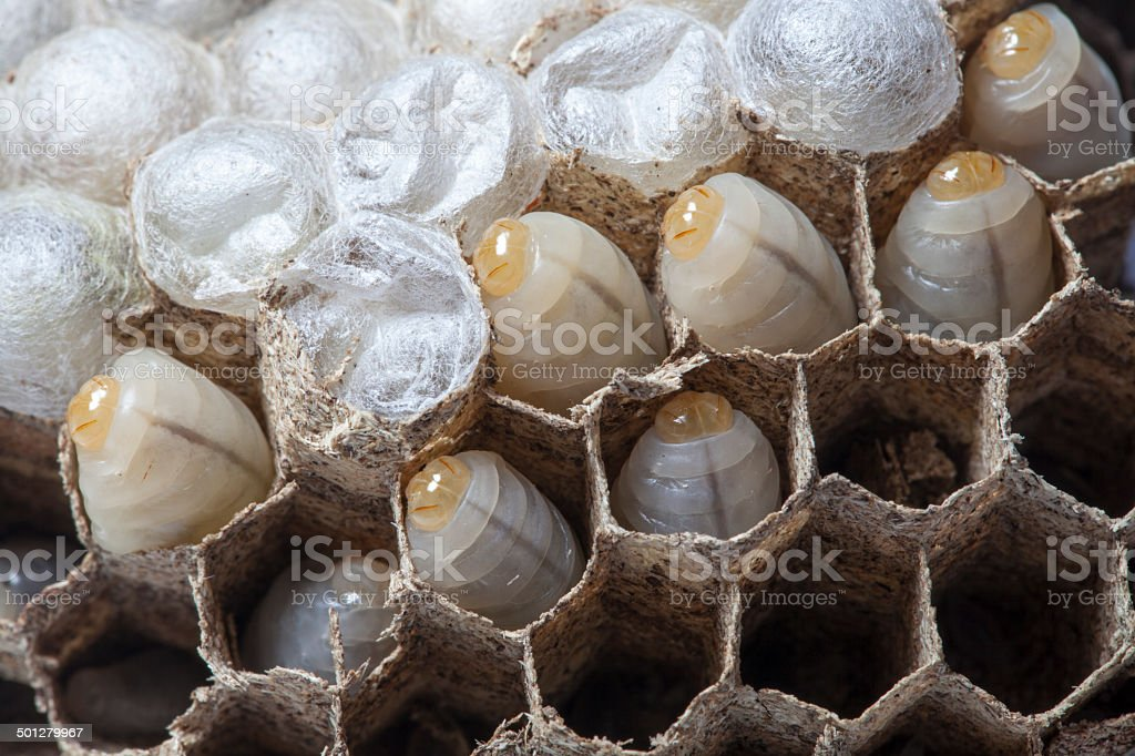 wasps nest with larva royalty-free stock photo